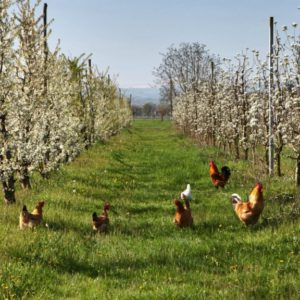 The Chickens For Cover Crops Committee. David Silverman/Getty Images